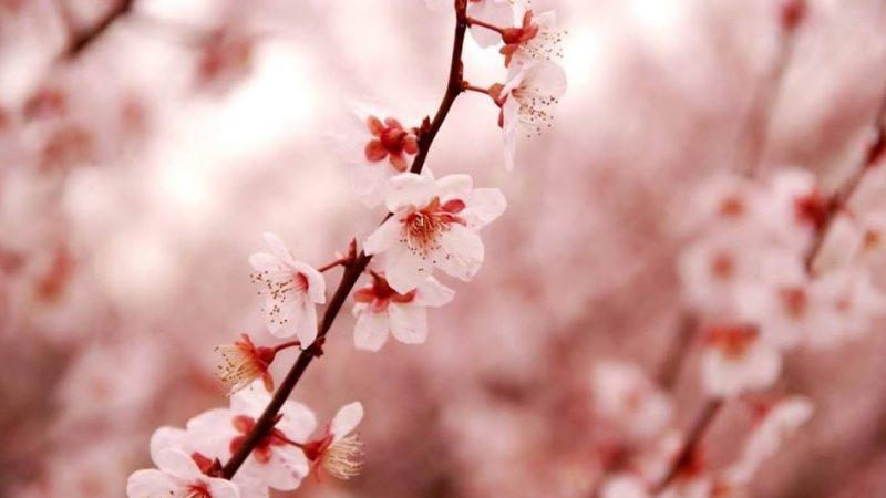 Les différences entre les fleurs de cerisiers et les fleurs de pruniers